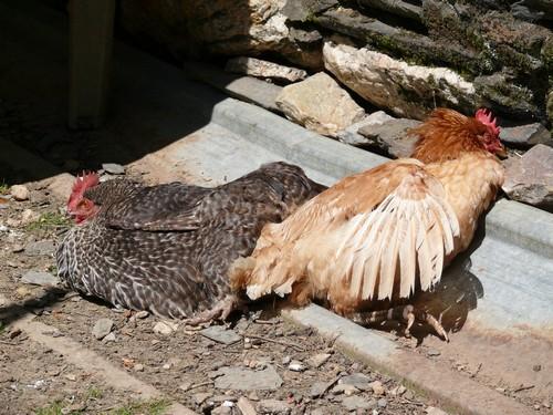 Bain de soleil entre poules !