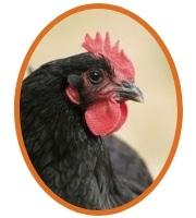 Belle poule noire Géline de Touraine