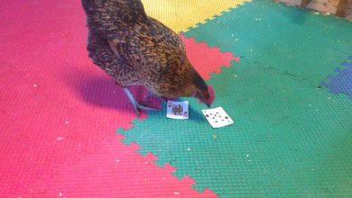 Tout savoir sur l'intelligence de la poule