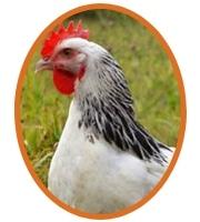 Sussex plumage blanc herminé noir