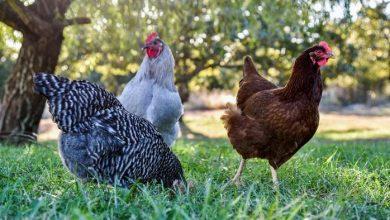 Voici les bonnes races de poules pondeuses