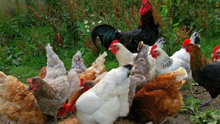 Nos conseils pour l'achat de vos premières poules