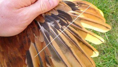 Comment couper les plumes de l'aile d'une poule