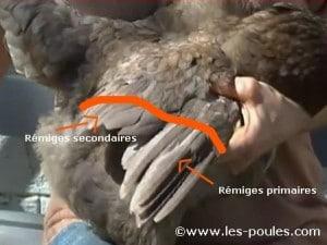 Photo numéro 1 : limite des plumes à couper
