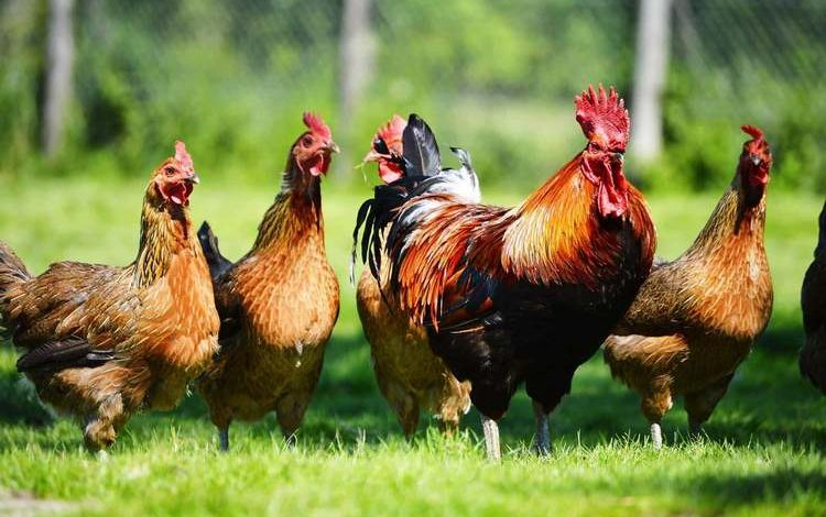 Poules et coq dans leur enclos