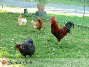 parcours-poules