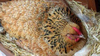 Comment empêcher une poule de couver