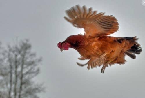 Voici une poule qui vole très bien
