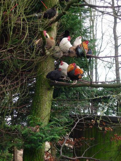 Poules et coqs qui ont volé dans l'arbre