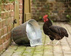 Seau spécial pour poules