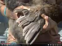 Aide en vidéo pour couper l'aile d'une poule - cliquer sur la phot