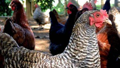 Comment prendre bien soin de ses poules