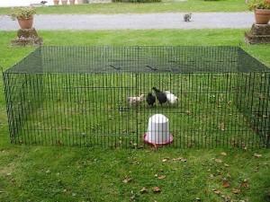 Cage poussins