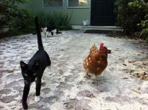 Un chat et des poules