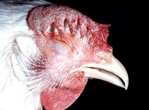 maladies-poules