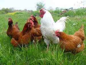 Groupe de poules