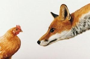 Comment prot ger les poules des pr dateurs for Qu est ce que mange une poule