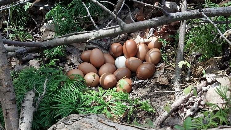 Nids avec des œufs cachés : quand les poules cachent leurs œufs