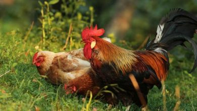 Comment protéger ses poules des prédateurs