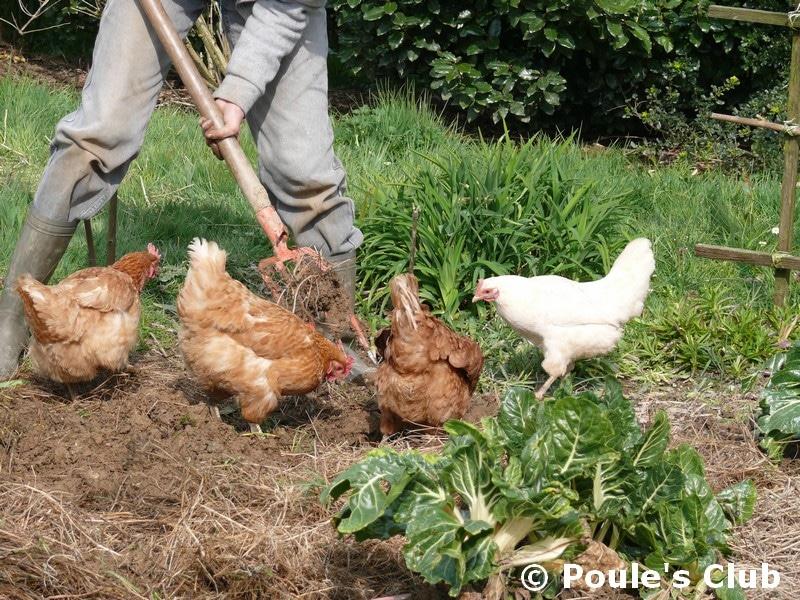 Nourrir ses poules pondeuses for Prix des poules pondeuses