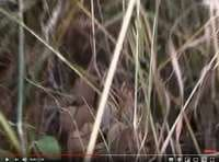 Vidéo d'œufs cachés par nos poules