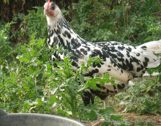 Levage de poules de races en bretagne c tes d 39 armor la for Race de poules naines
