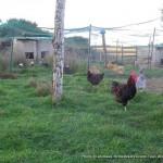 Parcs de poules à la Ferme de Kers