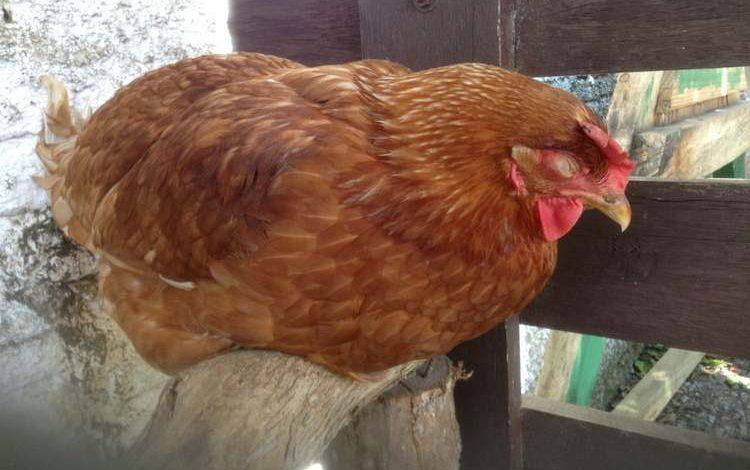 Quels sont les symptômes d'une poule malade ?