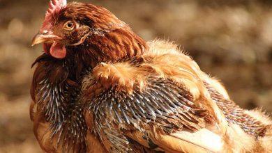 Comprendre la mue chez les poules