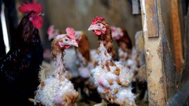 Perte de plumes chez la poule : les causes possibles