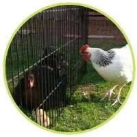 Maman poule et ses poussins dans la cage