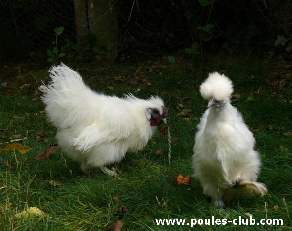 Poule qui se prend pour un coq incroyable for Bien nourrir ses poules