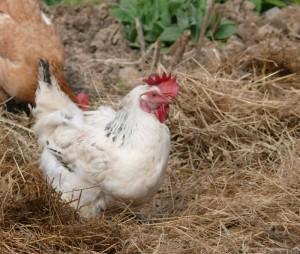 Quelle est la dur e de vie d 39 une poule - A quelle age pond une poule ...