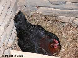 Praline en train de couver ses œufs