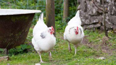 Tout savoir sur la poule Sussex