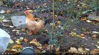 Une poule qui se prend pour un coq en vidéo