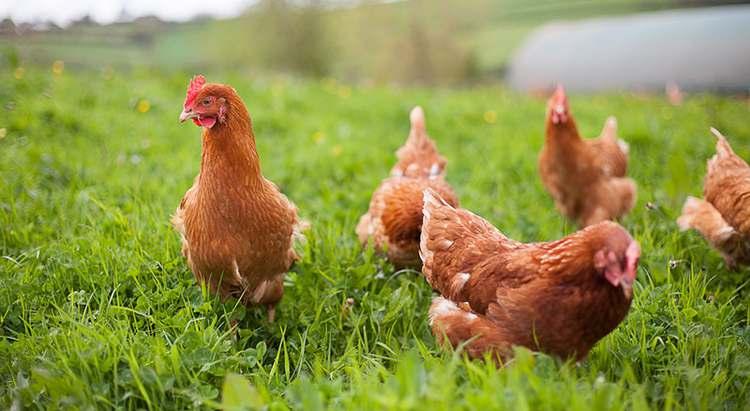 Combien ça coûte d'élever des poules ?