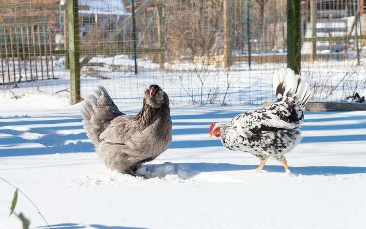 Comment les poules supportent le froid en hiver