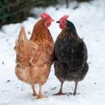 Deux poules en hiver