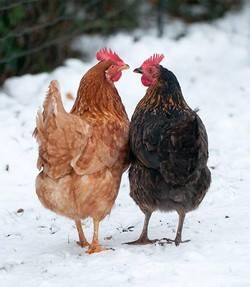 Ces deux poulettes semblent bien supporter le froid d'hiver
