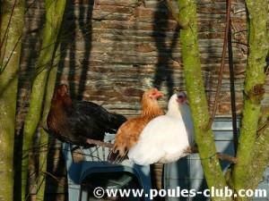 Poules perchées sous un arbre