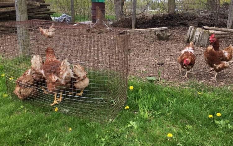 La bonne méthode pour introduire des nouvelles poules au poulailler