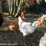 nouvelles-poules
