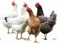 Le picage chez les poules