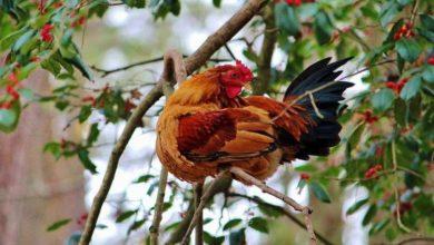 Quand les poules se perchent pour dormir dans les arbres