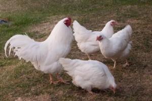 Groupe poules chanteclerc