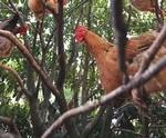 poules-qui-dorment-dans-les-arbres
