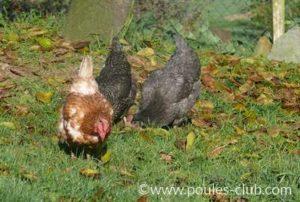Aucun problème de picage dans ce groupe de poules