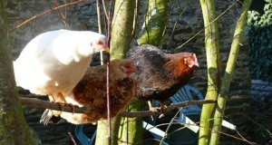 La hiérarchie chez les poules