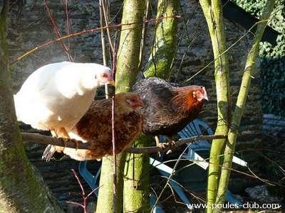 Mieux comprendre la hiérarchie chez les poules